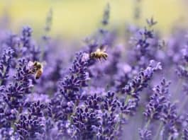 lavender-bee-summer-purple-garden
