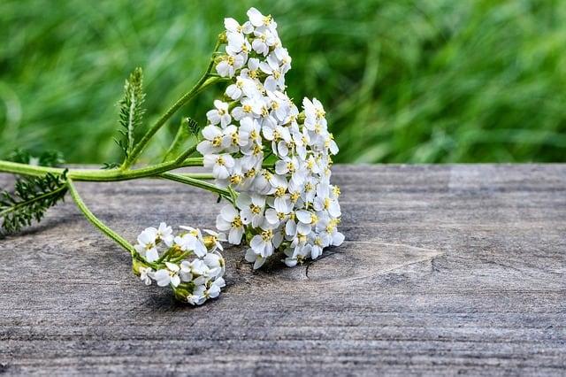 yarrow-wild-plant-flower-wild-flower