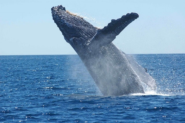 humpback-whale-breaching-jumping