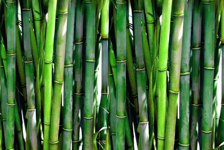 photo-fresh-bamboo-background