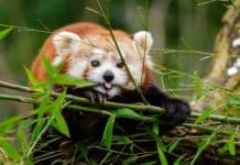 adorable-red-panda-animal-cute