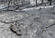 burnt carcass of a kangaroo