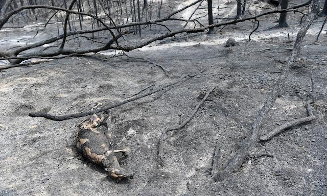 burnt carcass of a kangaroo