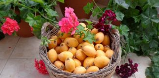 fruits-loquat-flowers-basket