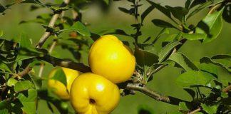 quince-poland-lemon-sidonia