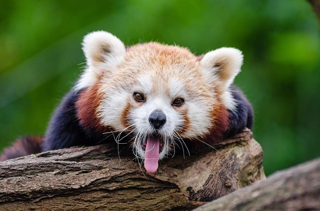 red-panda-yawns-curious