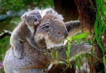 koala-animals-mammals-australian