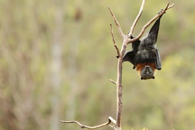 Brandt Bat
