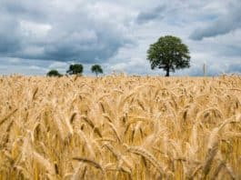 agriculture-barley-cereal-clouds