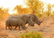 Rhinos: Why are They Important, Reasons for Extinction, How Can We Save Rhinos and Few Interesting Facts