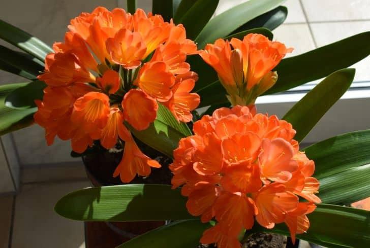 Clivia plant