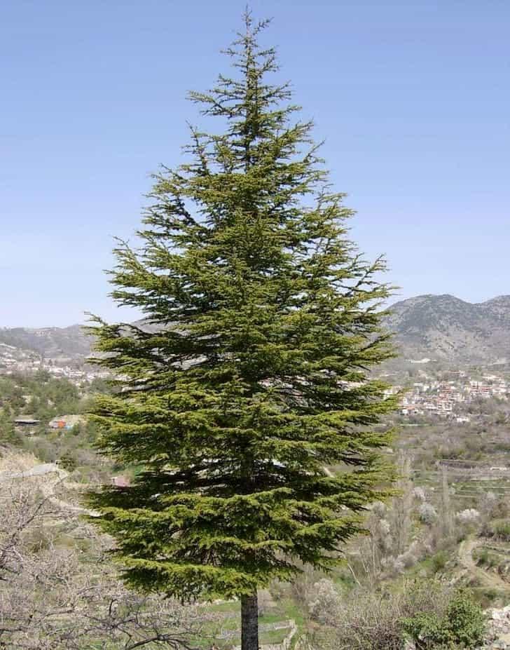 Cyprian Cedar