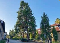 11 Different Types of Evergreen Cedar Trees With Pictures