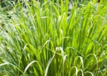 Is Lemongrass Mosquito Repellent? (List of Other Insects That Lemongrass Repel)