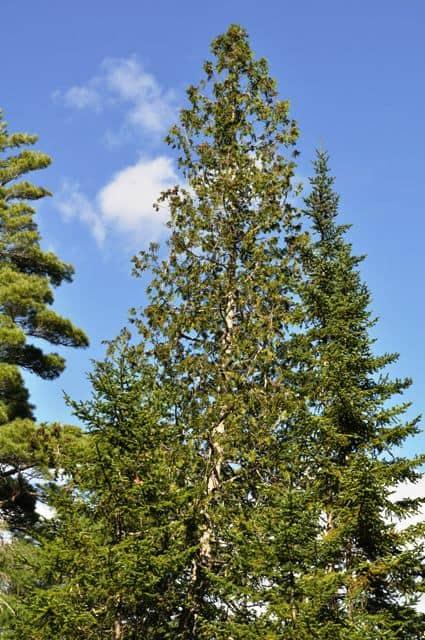 Northern White-cedar