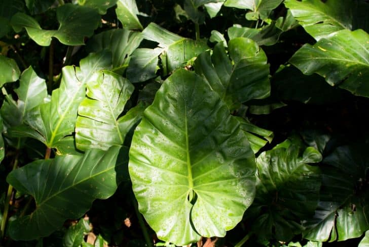 Philodendron-Plant