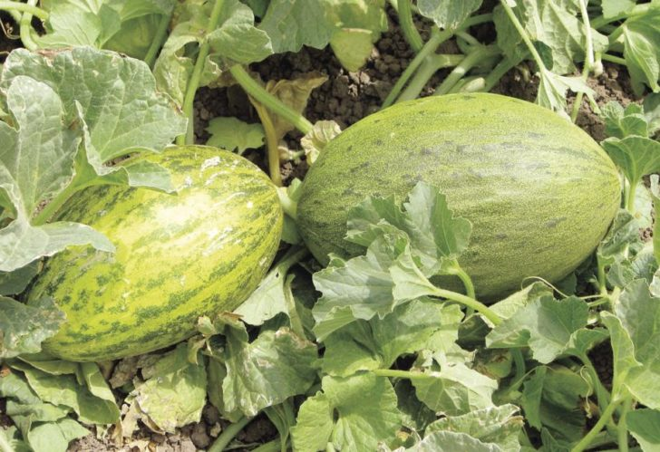 Camouflage Melon