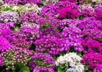 Ultimate Guide to Grow and Care Cineraria Plant: Information and Tips