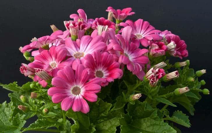 Cineraria-plant-flower