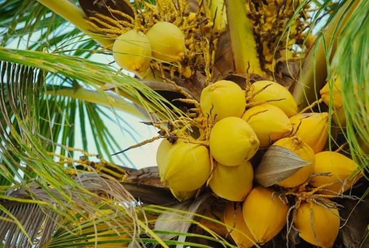 Golden Malay