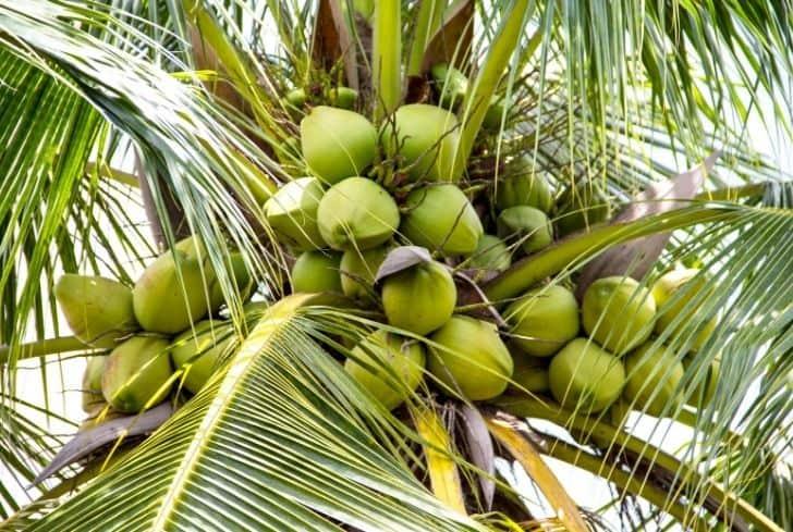 Maypan Coconut