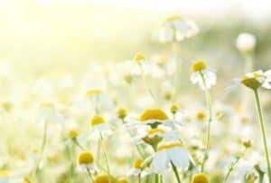 english-daisy-flower