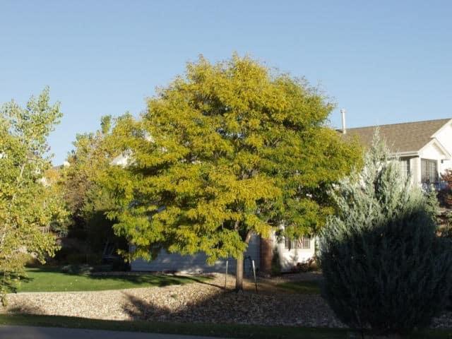 imperial-honeylocust-tree