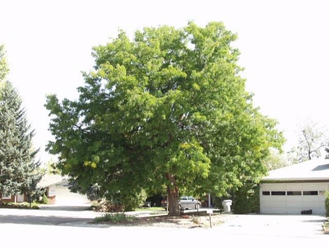 shademaster-honeylocust-tree