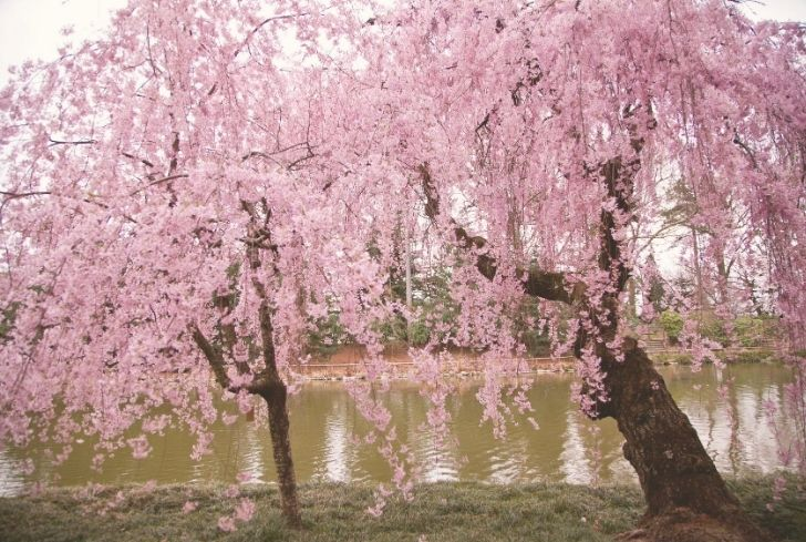 Higan Cherry tree