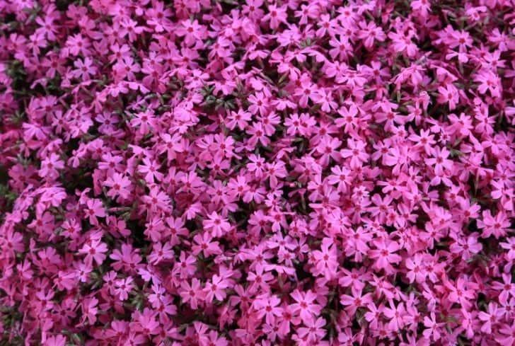Moss Phlox plant