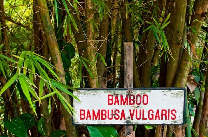 Painted Bamboo - Bambusa vulgaris