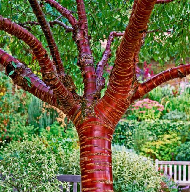 Tibetian Cherry tree