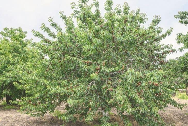 Van Cherry tree