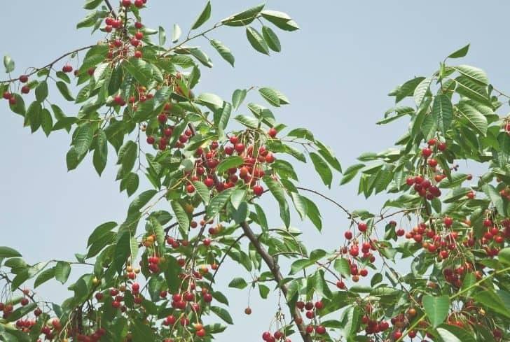 Vandalay Cherry