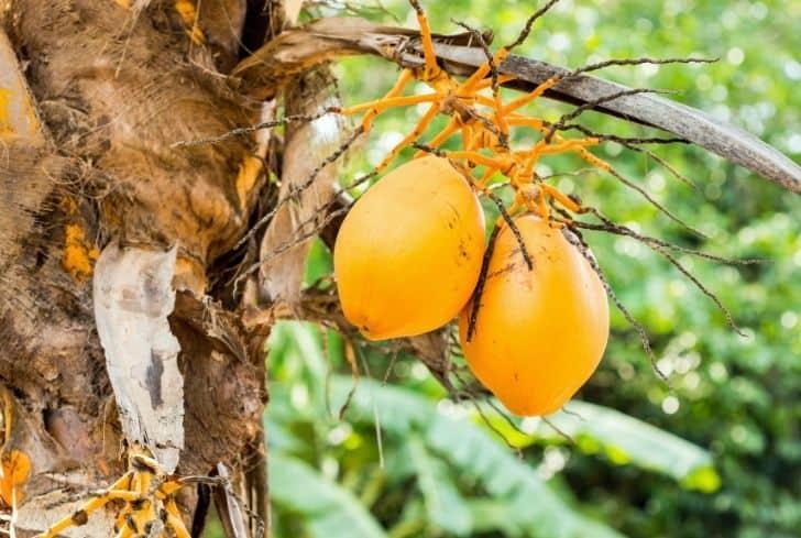 dwarf-orange-coconut