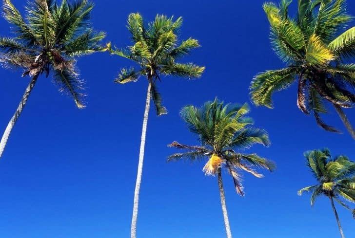 east-coast-coconut-tree