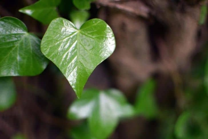 heart-ivy