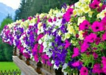 How Fast Do Petunias Grow? (Getting to Know About Petunias)