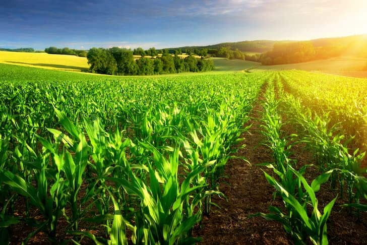 photo-sunlit-rows-of-corn-plants