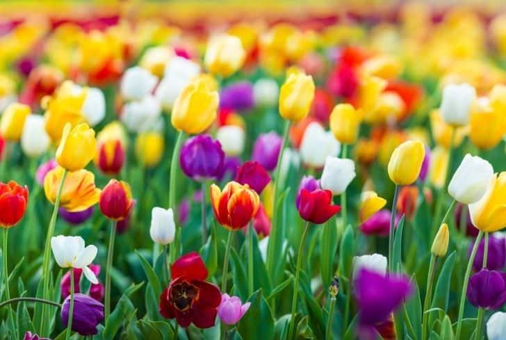 beautiful-tulips