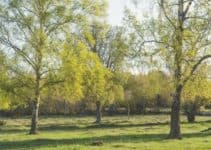 9 Types of Dwarf Birch Trees That Can Be Used for Landscaping
