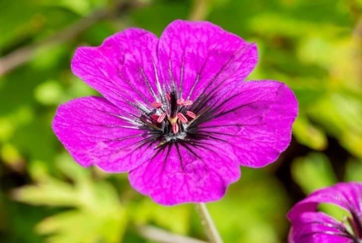 Anne-Thomson-geranium