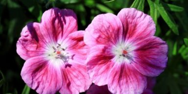 Geranium-Elke-flower