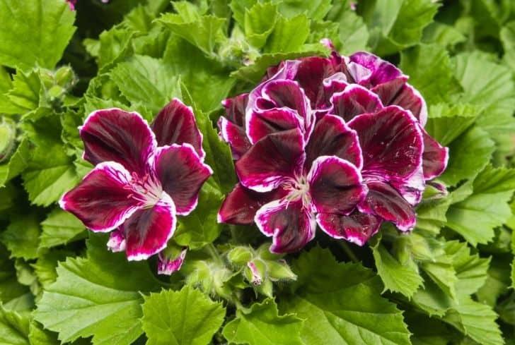 Martha-Washington-geranium