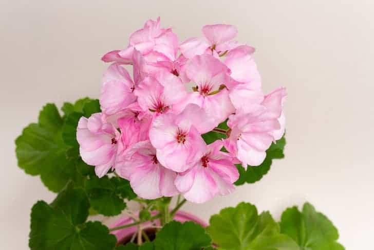 Picotee geranium