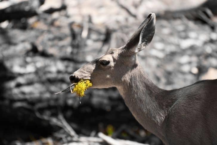 deer-eating-flower