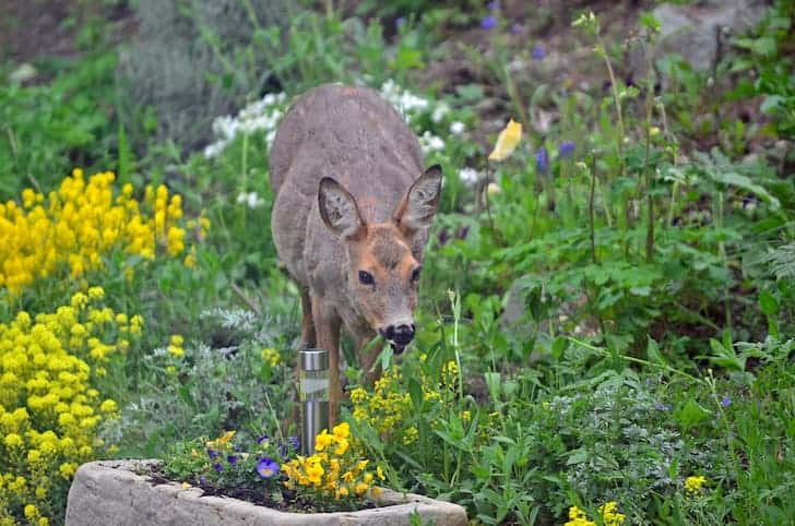 deer-eating-flowers
