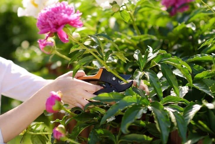 gardener-cutting-peonies