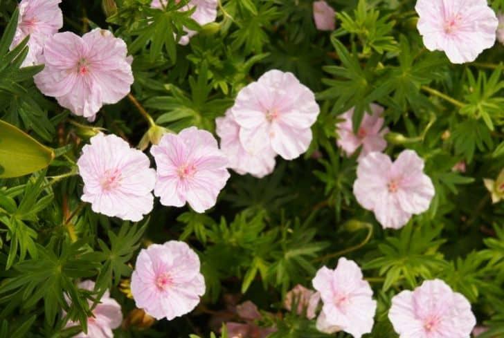 geranium striatum