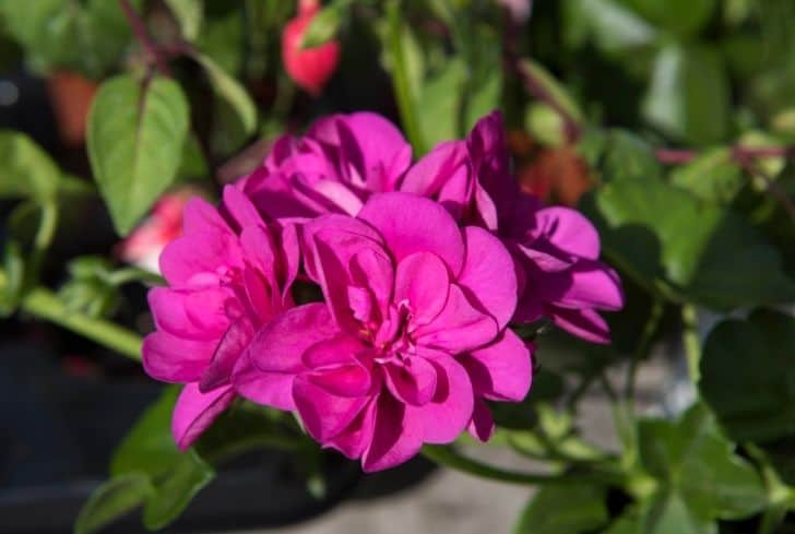 great-balls-of-fire-geranium